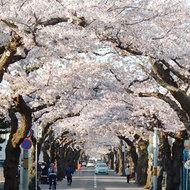 GWは桜を見なければ!
